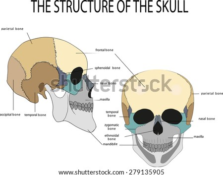 What is the anatomy of the skull?