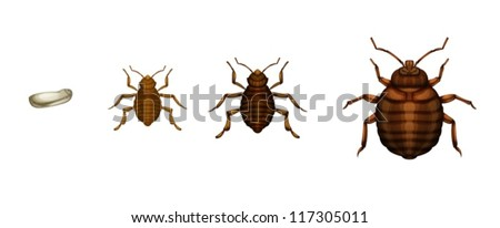 Illustration of the bed bug life cycle on a white background