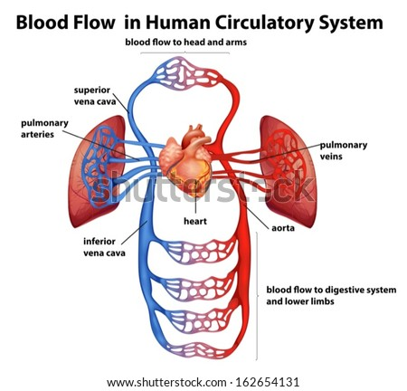 Illustration of the Blood flow in human circulatory system on a white background - stock vector