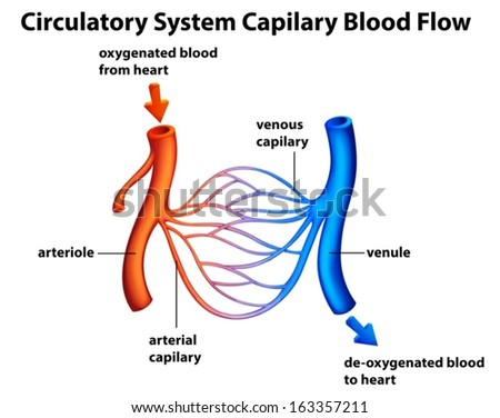 Illustration of the Circulatory System - Capilary blood flow on a white background - stock vector