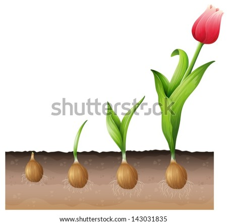 Illustration of the developing tulip - stock vector