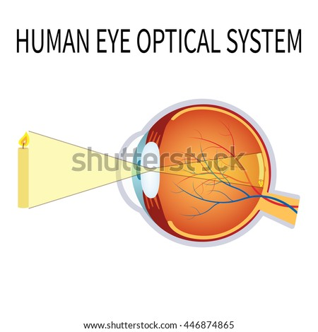 Illustration of the human eye optical system on the white background.