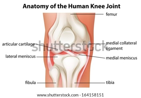 Illustration of the human knee joint anatomy on a white background