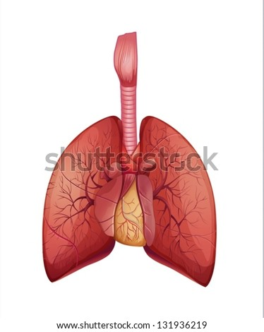 Illustration of the human lungs - stock vector