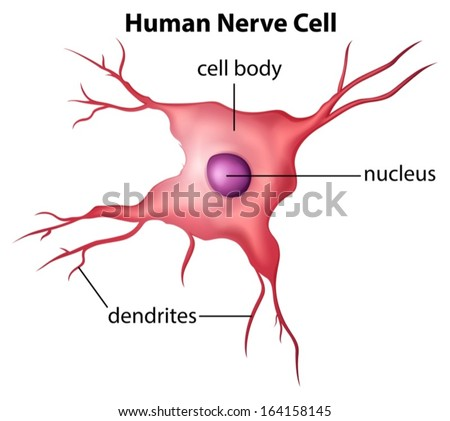 Illustration of the human nerve cell on a white background - stock vector