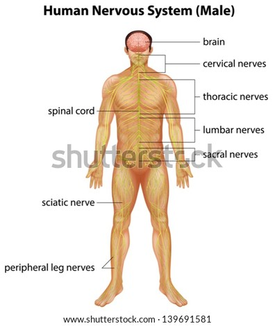 Illustration of the human nervous system - stock vector