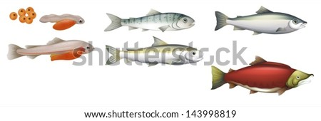 Illustration of the life cycle of salmons - stock vector