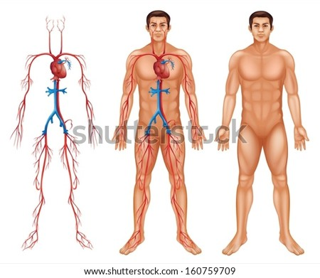 Illustration of the male circulatory system on a white background - stock vector