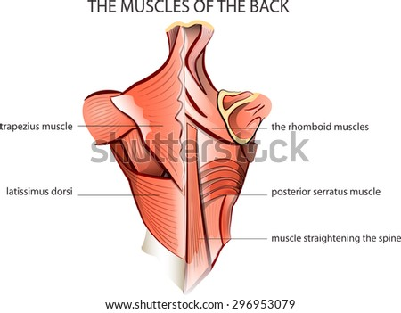 back muscle anatomy stock images, royalty-free images & vectors, Human body