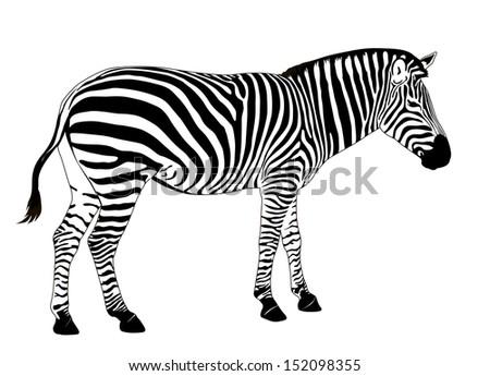 Illustration of  zebra. Vector EPS 8 - stock vector