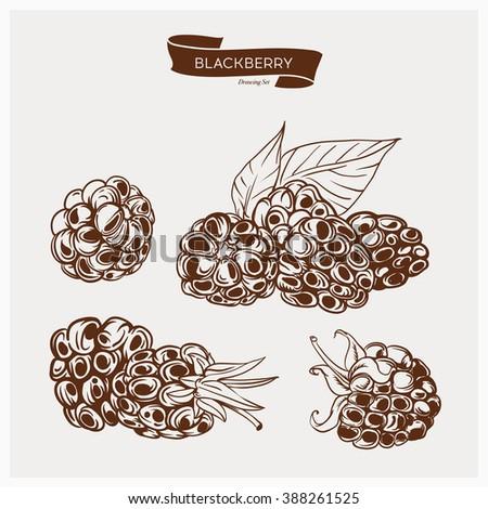 Illustration set of drawing blackberry. Hand draw illustration set for design. Vector engraving drawing antique illustration of blackberry with leafs. - stock vector