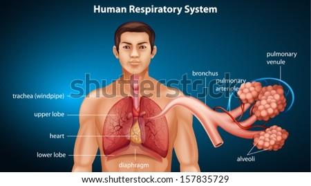 Illustration showing the Human respiratory system - stock vector