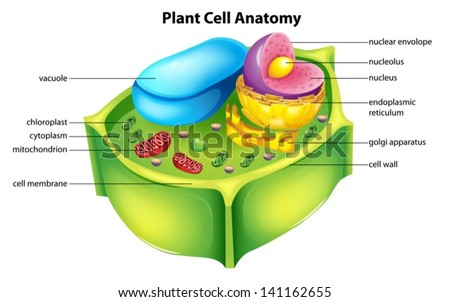 Illustration showing the plant cell anatomy - stock vector