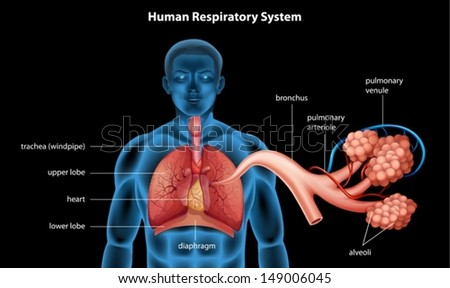 Illustration showing the respiratory system - stock vector