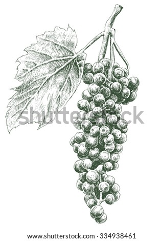 Illustration with grapes. Vector. Hand drawn. - stock vector