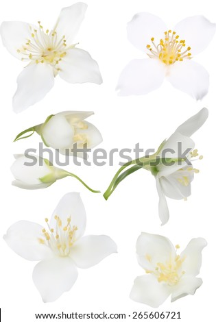 illustration with jasmin flowers isolated on white background - stock vector