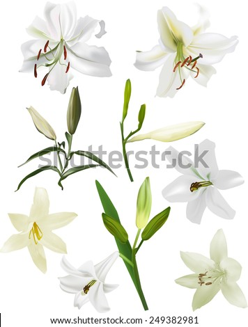 illustration with light lily flowers isolated on white background - stock vector