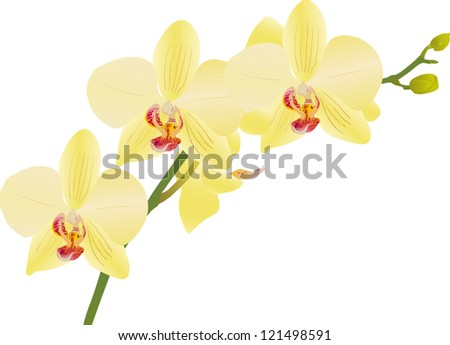 illustration with light yellow orchid flower branch