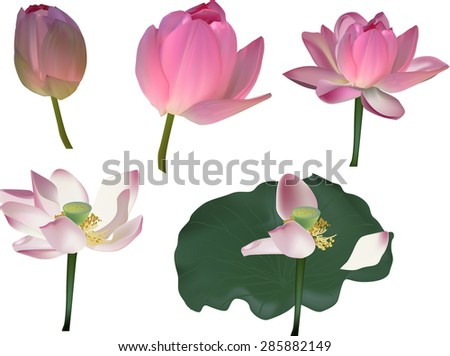 illustration with lotus flowers isolated on white background