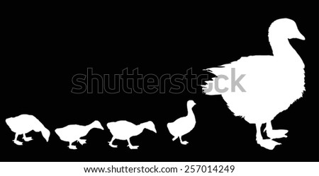 illustration with newborn gosling and goose silhouettes isolated on black background - stock vector