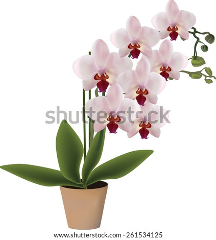 illustration with pink orchid in pot isolated on white background - stock vector