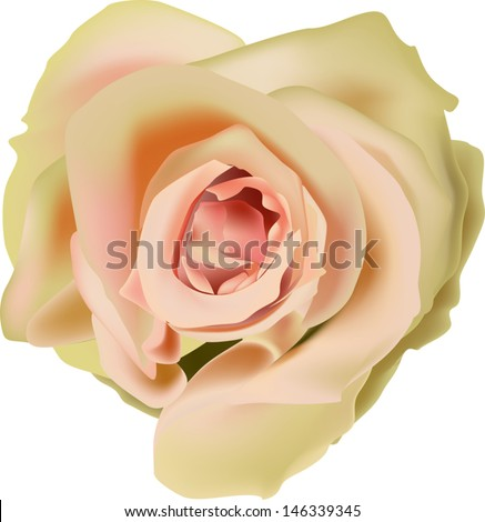 illustration with tea rose flower isolated on white background - stock vector