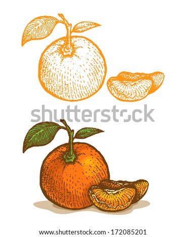 Illustrations of tangerine in retro style - stock vector