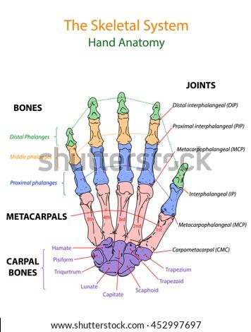 Image Show Overview Human Hand Anatomy Stock Photo Photo Vector