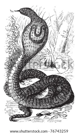 Indian Cobra or Spectacled Cobra or Naja naja, vintage engraving. Old engraved illustration of an Indian Cobra. Trousset Encyclopedia. - stock vector