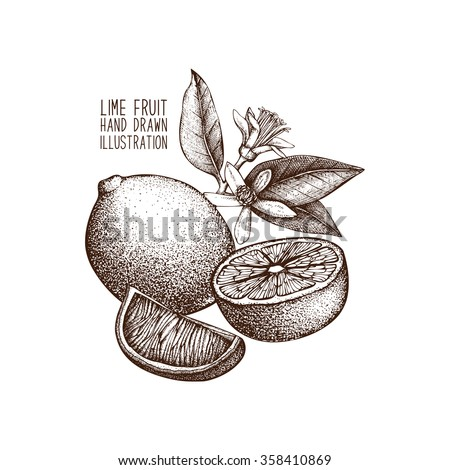 Ink hand drawn lime isolated on white background. Vector illustration of highly detailed citrus fruits - stock vector