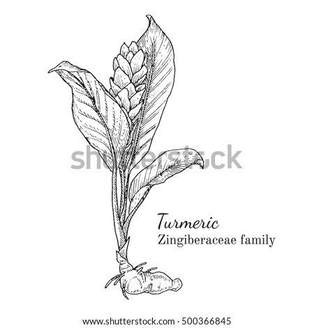 Ink turmeric herbal illustration. Hand drawn botanical sketch style. Absolutely vector. Good for using in packaging - tea, condinent, oil etc - and other applications