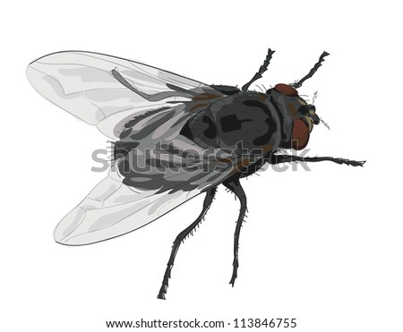 Insect fly isolated on white background. Vector illustration. - stock vector