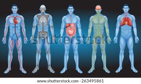 Internal organs of the human body - stock vector