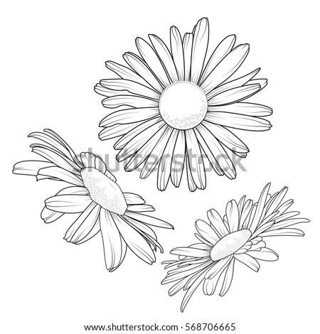 Isolated daisy chamomile close up view collection set. Loves me loves me not flower. Detailed realistic black outline on white background. Vector design illustration reusable element.
