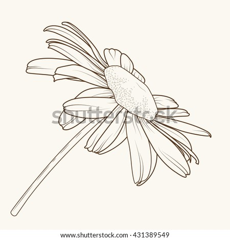 Isolated daisy chamomile flower and stem. Simple sketch drawing. Side view. Brown outline on beige background. - stock vector