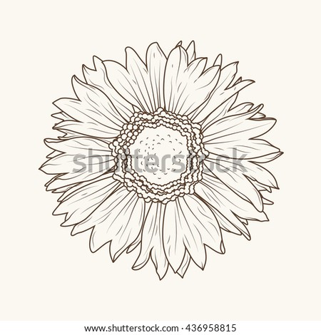 Isolated sunflower aster daisy flower. ?lose-up macro view. Detailed brown outline on beige background. - stock vector