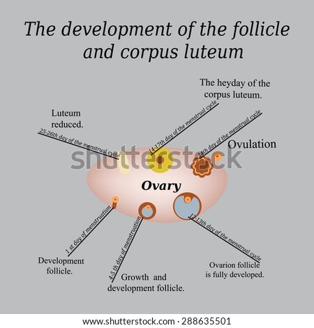 It shows the development of ovarian follicle and corpus luteum. Vector illustration on a gray background. - stock vector