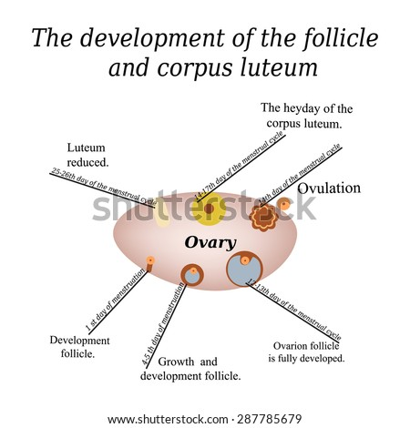 It shows the development of ovarian follicle and corpus luteum. Vector illustration on isolated background. - stock vector