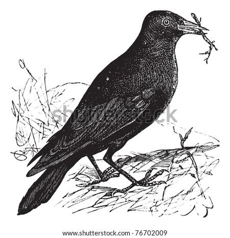 Jackdaw or Corvus monedula, vintage engraving. Old engraved illustration of a Jackdaw. Trousset Encyclopedia - stock vector