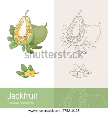 Jackfruit section fruit with leaves and seeds, hand made botanical drawing - stock vector