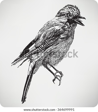 Jay bird, hand drawing, vector illustration. - stock vector