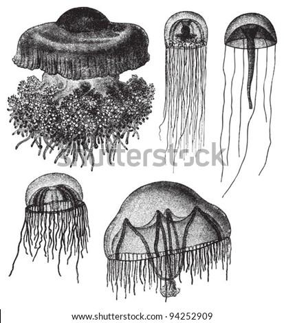 Jellyfish collection / vintage illustration from Meyers Konversations-Lexikon 1897 - stock vector