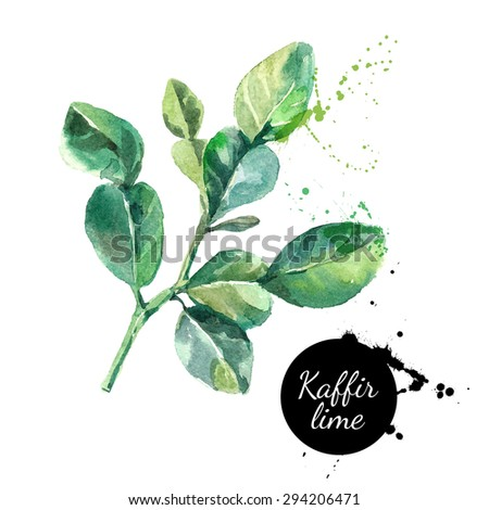 Kaffir lime leaves. Hand drawn watercolor painting on white background. Vector illustration - stock vector