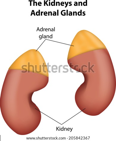 Kidneys Adrenal Glands Labeled Diagram Stock Vector Royalty Free