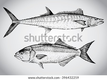 King mackerel and Bluefish. Vintage hand drawn illustration in vector - stock vector