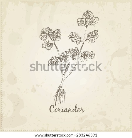 Kitchen hand-drawn herbs and spices .Health and Nature Collection. Labels for Essential Oils and Natural Supplements. Coriander. - stock vector
