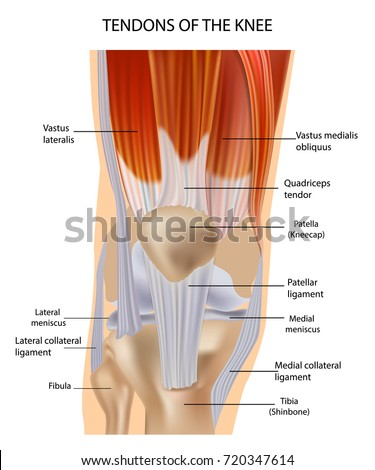 Knee Anatomy Muscles Tendons Muscle Structure Stock Vector Hd