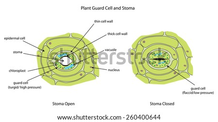 Labeled Diagram Showing Plant Stoma Open Stock Vector ...
