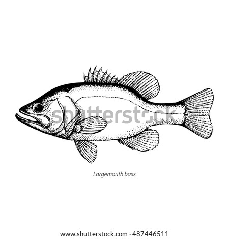 Largemouth Bass Hand Drawn Vintage Vector Illustration