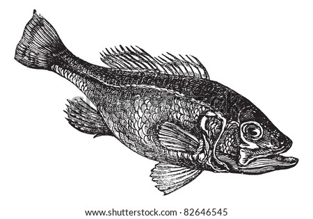 Largemouth bass (Micropterus salmoides) or widemouth bass or bigmouth or black bass or bucketmouth vintage engraving. Old engraved illustration.. Trousset encyclopedia (1886 - 1891). - stock vector